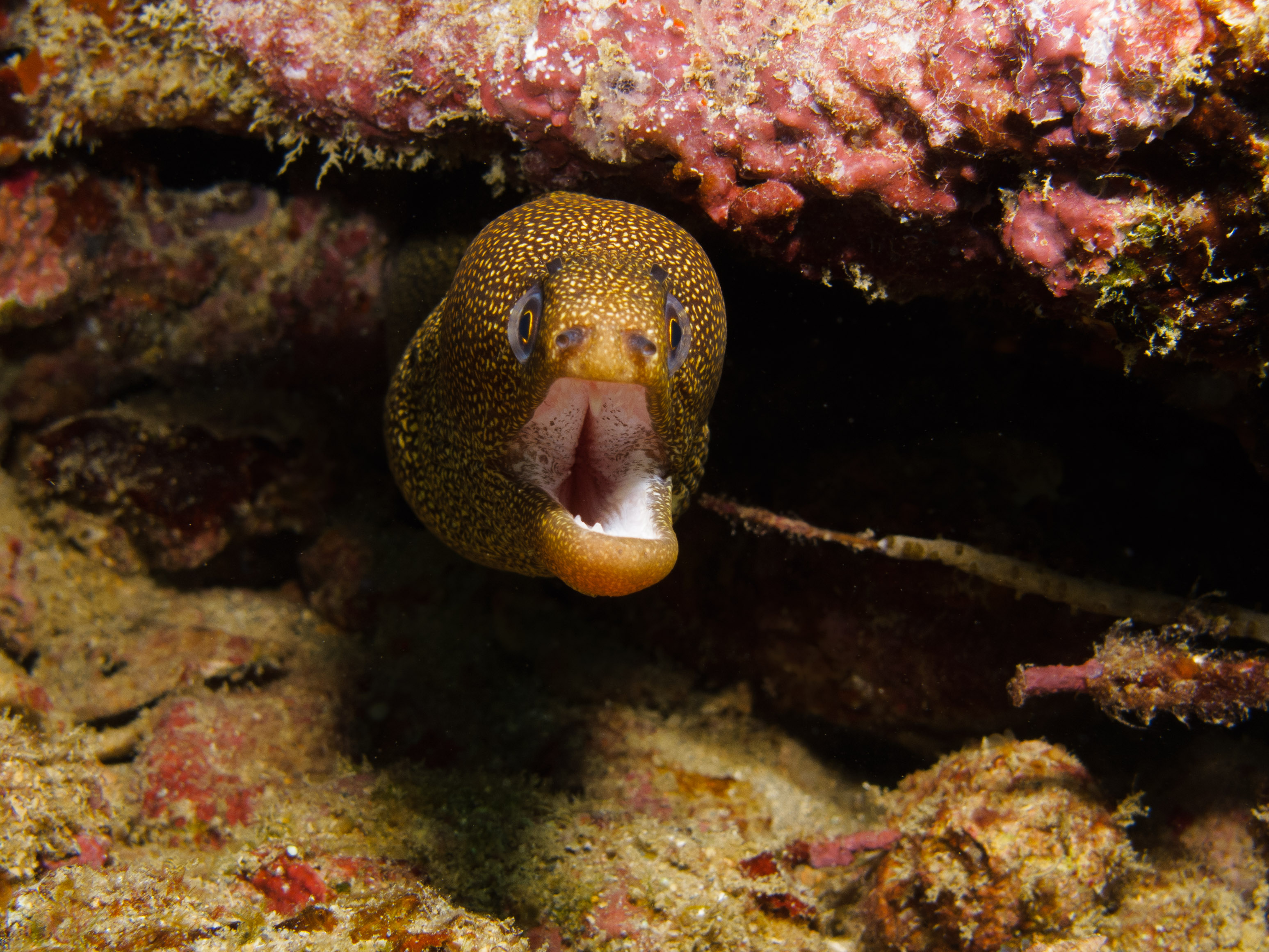 7972904_1_Goldentail_Moray
