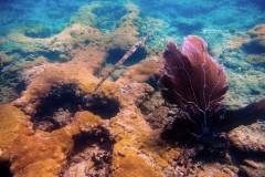 7967247_1_©Angela Smith_cornetfish_corals marine life