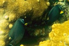 7967342_1_©Angela Smith_angelfish buddies_marine life