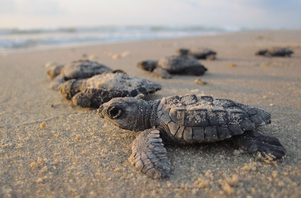 It's the Height of Sea Turtle Nesting Season- LBTS Residents are Here to Protect Them