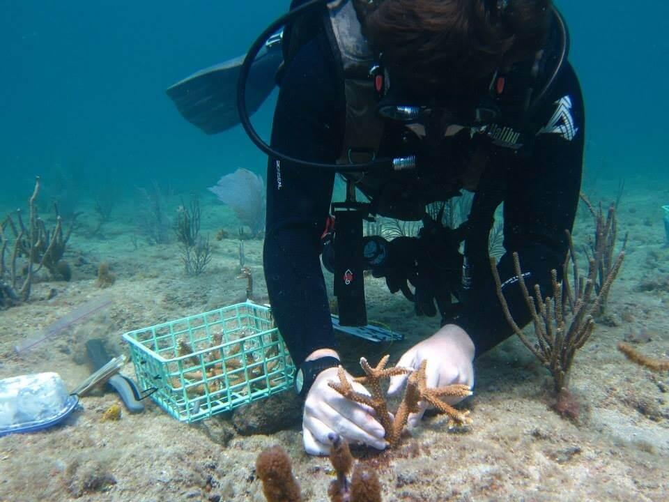 NSU Diver attaches coral fragments to the reef